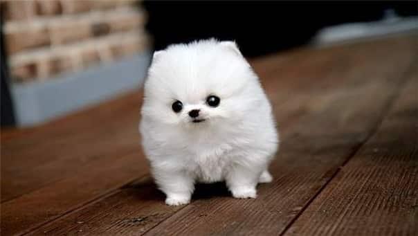 Карманная  собачка