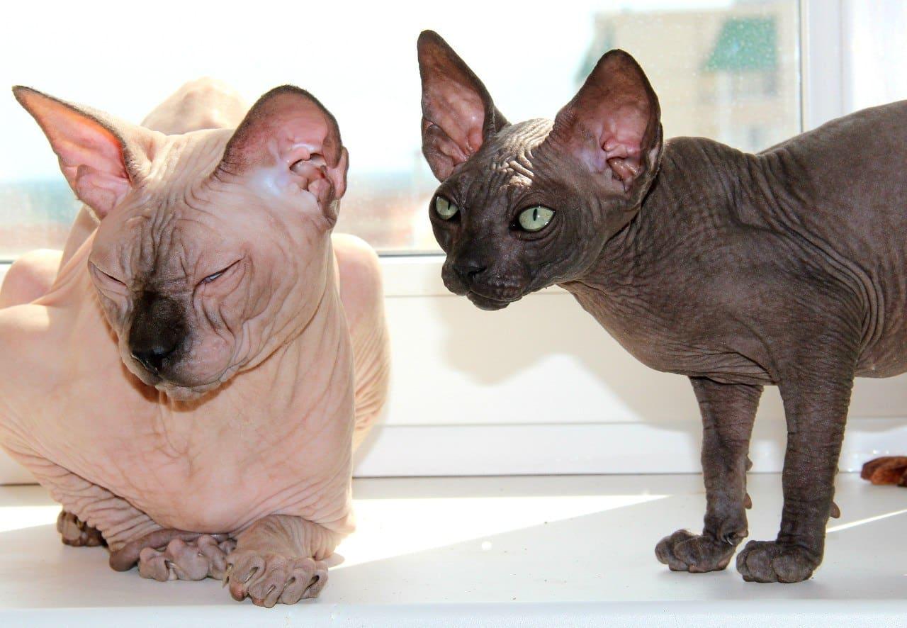 Сфинкс - самая дорогая кошка