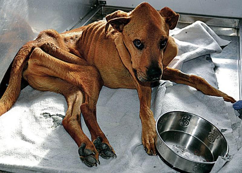 Собака Не Ест Похудела. Собака похудела, мало ест, всего боится и проявляет апатию