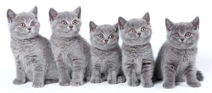 Папины сыночки - британские котята