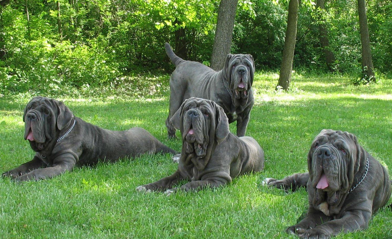 Огромные собаки