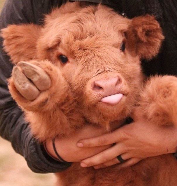 baby_cow