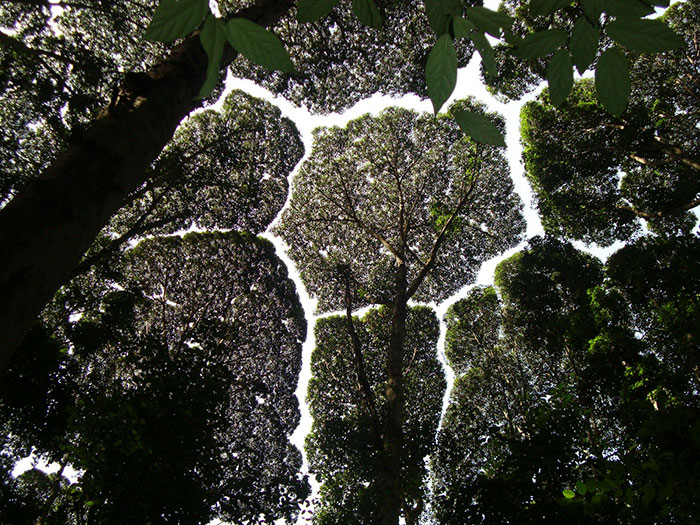 crown-shyness-trees-avoid-touching-coverimage