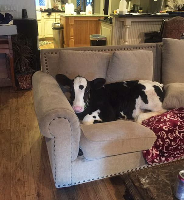 cute-cows-are-dogs