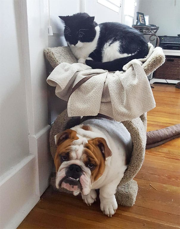 dog_thinks_he_is_cat
