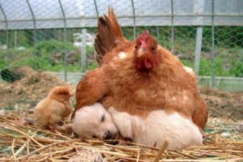 hens_adopt_babys