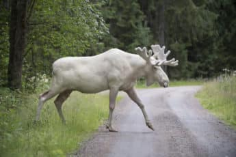 moose_white_walking