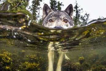swimming-sea-wolves-pacific-coast-canada-ian-mcallister-coverimage