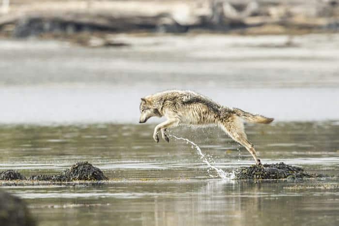 wolves_swim_miles