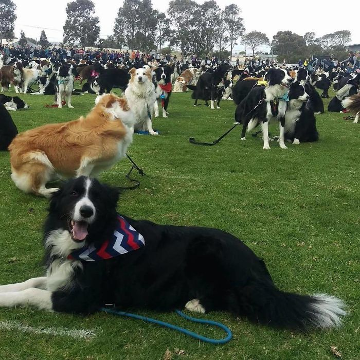 collie_dogs_ginnes