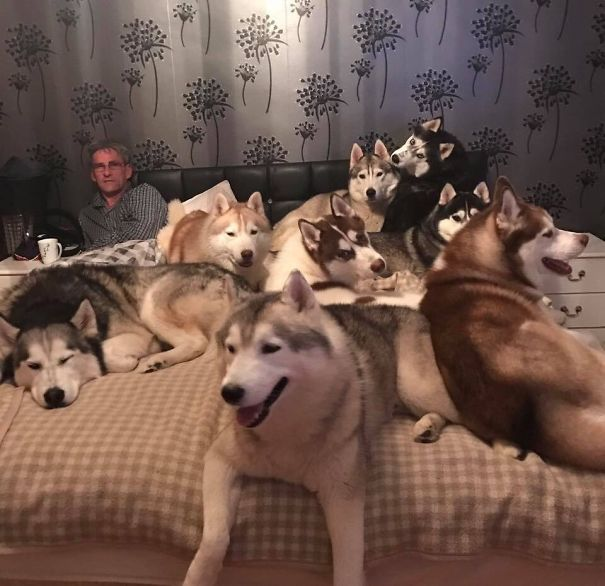 husky_in_bed